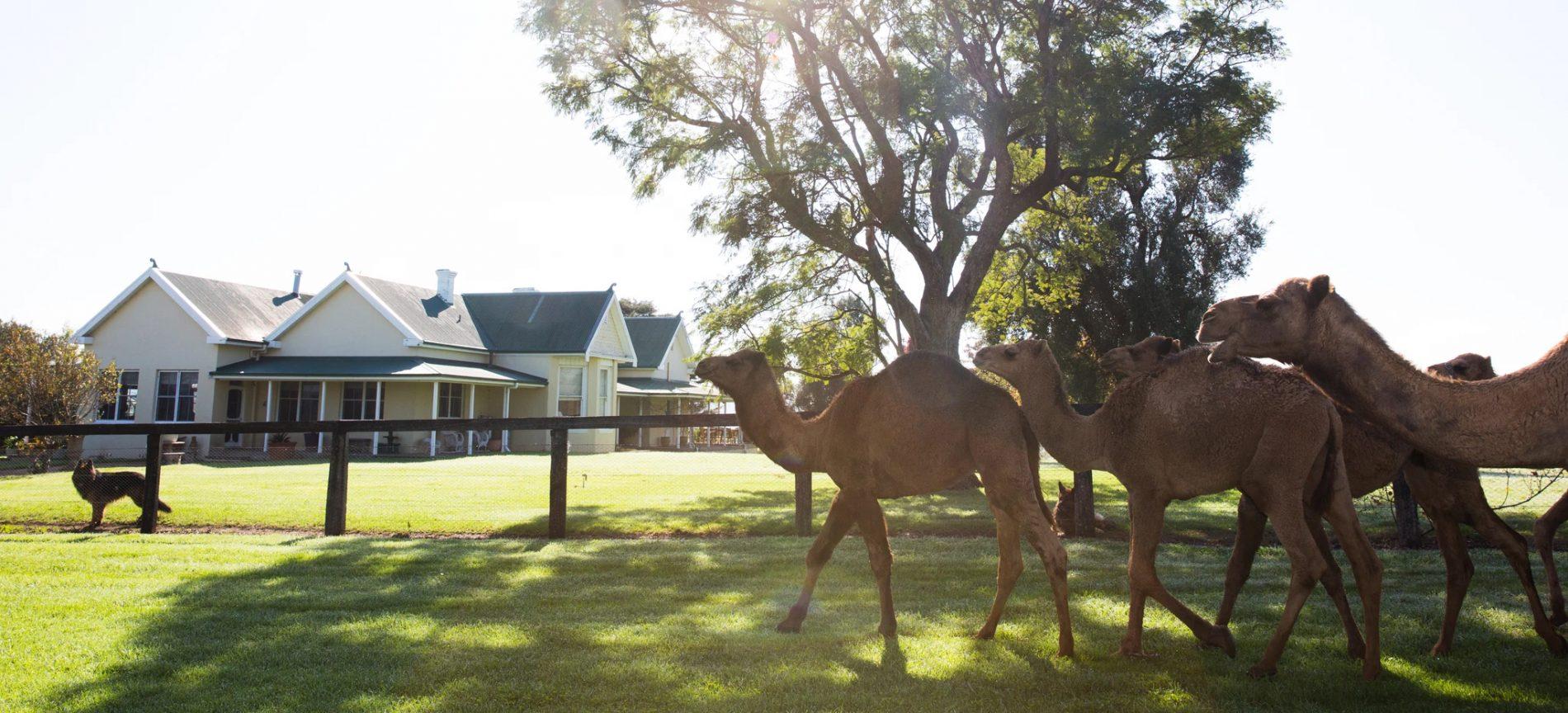 Camel Milk NSW