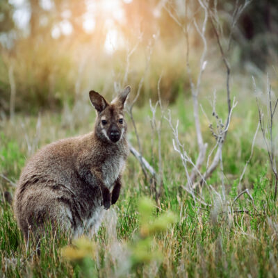 Friends of the Brush-tailed Rock-wallaby Incorporated